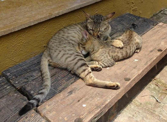 Qualities to Look for in a Bengal Kitten Before Buying